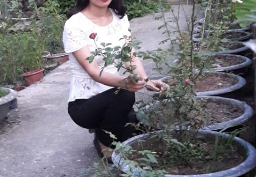 Sáng kiến độc đáo nhân giống cây hoa hồng